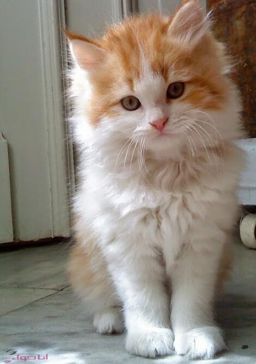 بالصور اجمل الصور للقطط في العالم , اجمل اشكال القطط و الوانها 1784 10