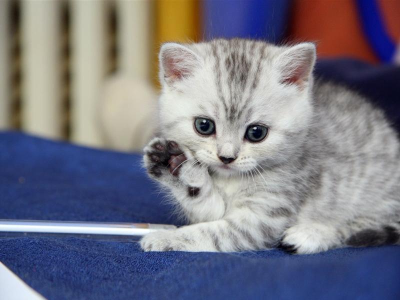 بالصور اجمل الصور للقطط في العالم , اجمل اشكال القطط و الوانها 1784 11