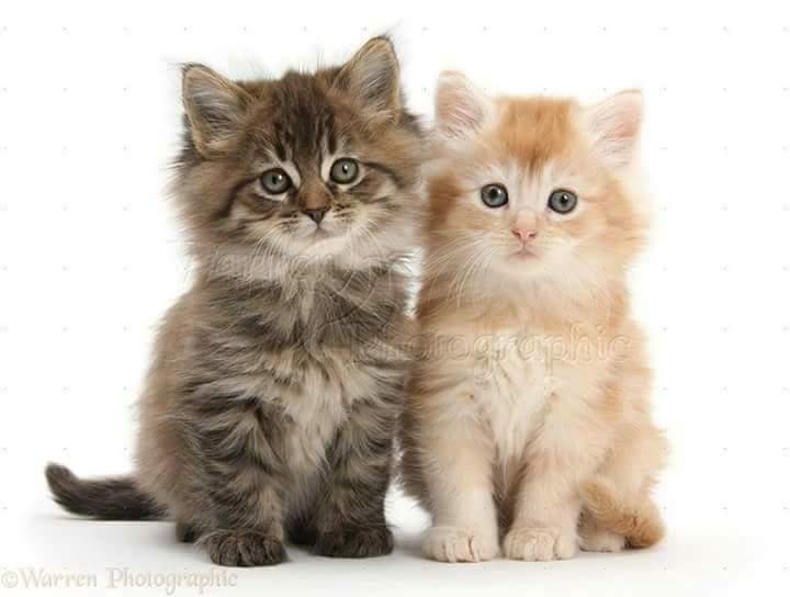 بالصور اجمل الصور للقطط في العالم , اجمل اشكال القطط و الوانها 1784 13