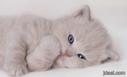 بالصور اجمل الصور للقطط في العالم , اجمل اشكال القطط و الوانها 1784 3