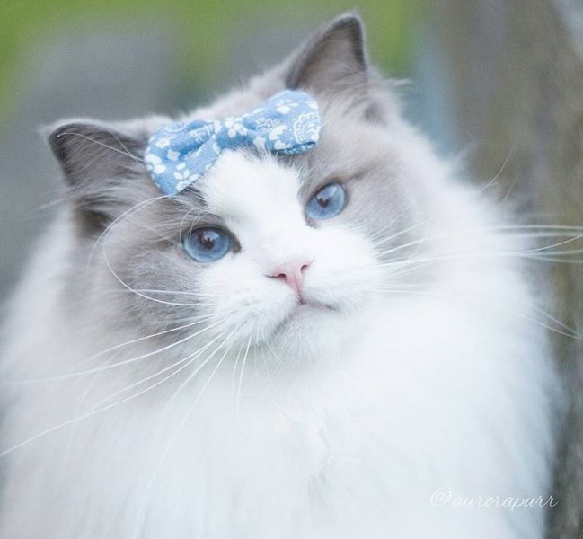 بالصور اجمل الصور للقطط في العالم , اجمل اشكال القطط و الوانها 1784 5