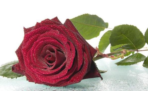 صورة اجمل ورود في العالم , الورود رمز الحب و الرومانسيه فى العالم