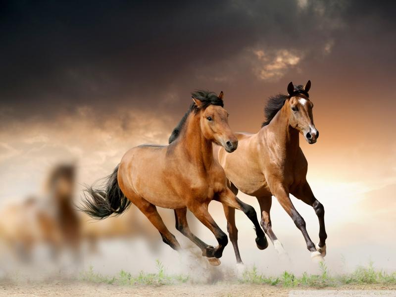 صورة خيل اصيل , اجمل صور خيول عربية اصيلة