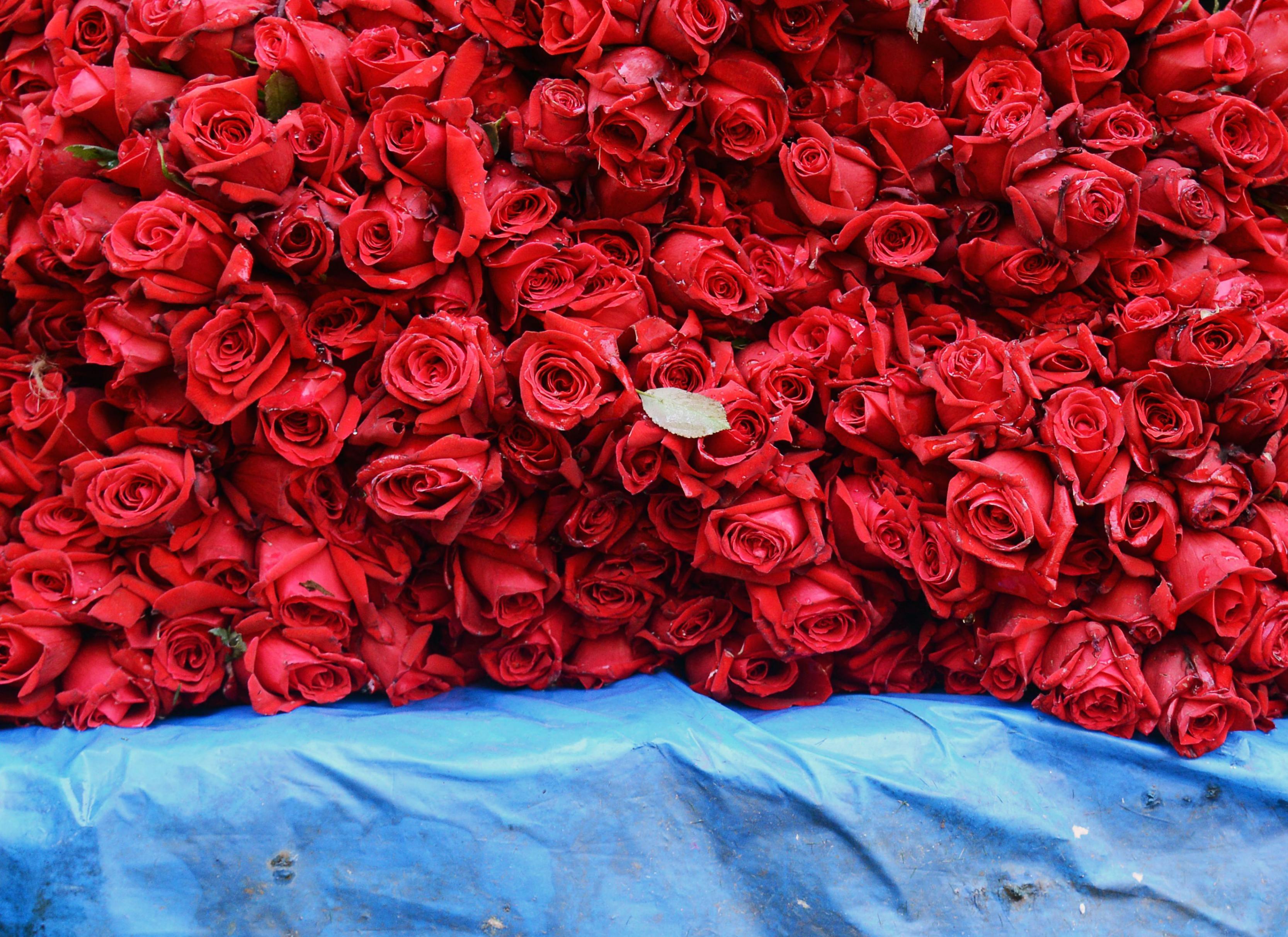 بالصور ورود الحب , اجمل الورود للحب 2389 11