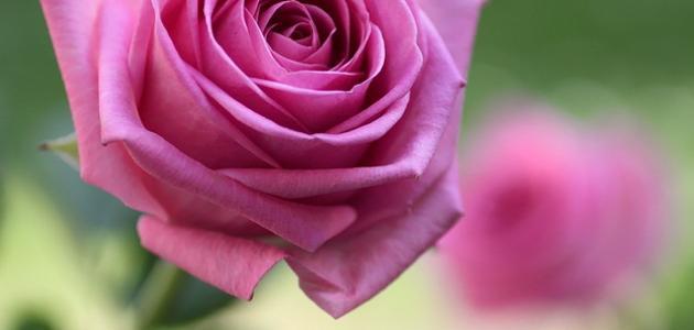 بالصور اجمل الورود في العالم , صور اجمل ورد 2481 10