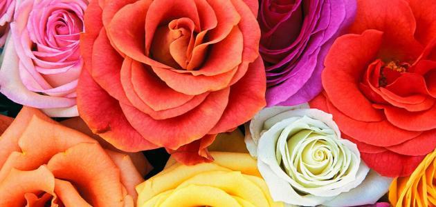 بالصور اجمل الورود في العالم , صور اجمل ورد 2481 2