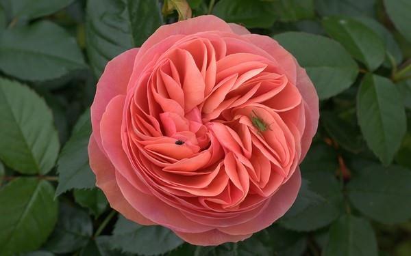 بالصور اجمل الورود في العالم , صور اجمل ورد 2481 3