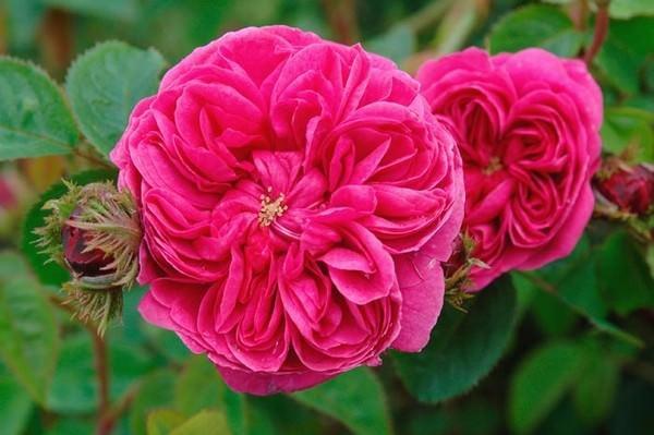 بالصور اجمل الورود في العالم , صور اجمل ورد 2481 4