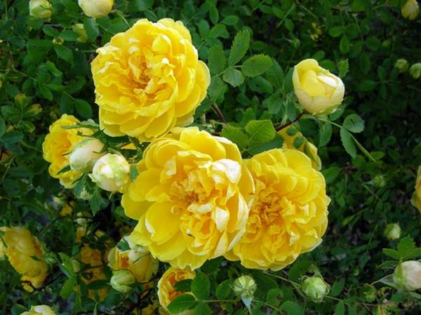 بالصور اجمل الورود في العالم , صور اجمل ورد 2481 6