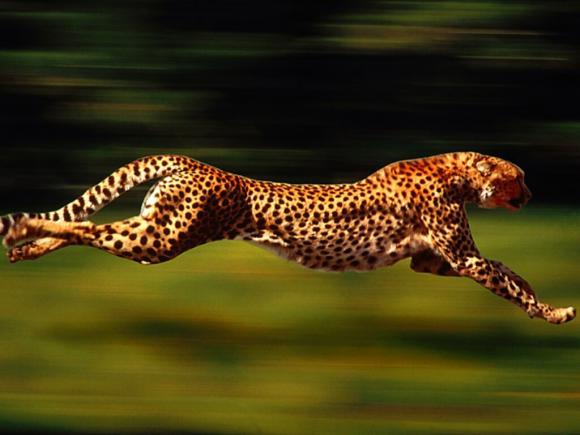 بالصور اسرع حيوان في العالم , من هو اسرع حيوان بالعالم 2506 2