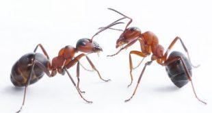 صوره معلومات عن النمل , ماذا تعرف عن عالم النمل