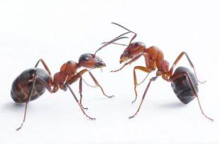 صور معلومات عن النمل , ماذا تعرف عن عالم النمل