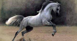 صور خيول عربية اصيلة , افضل فصائل الاحصنه بالصور