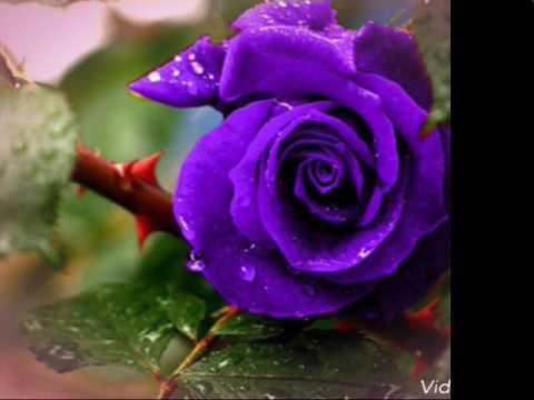بالصور صور اجمل ورد , اروع صور للورد 1193 4