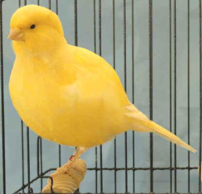 صور انواع الكناري , اجمل انواع طيور الزينه