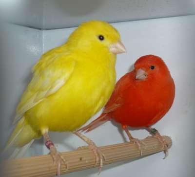 بالصور انواع الكناري , اجمل انواع طيور الزينه 2074 2