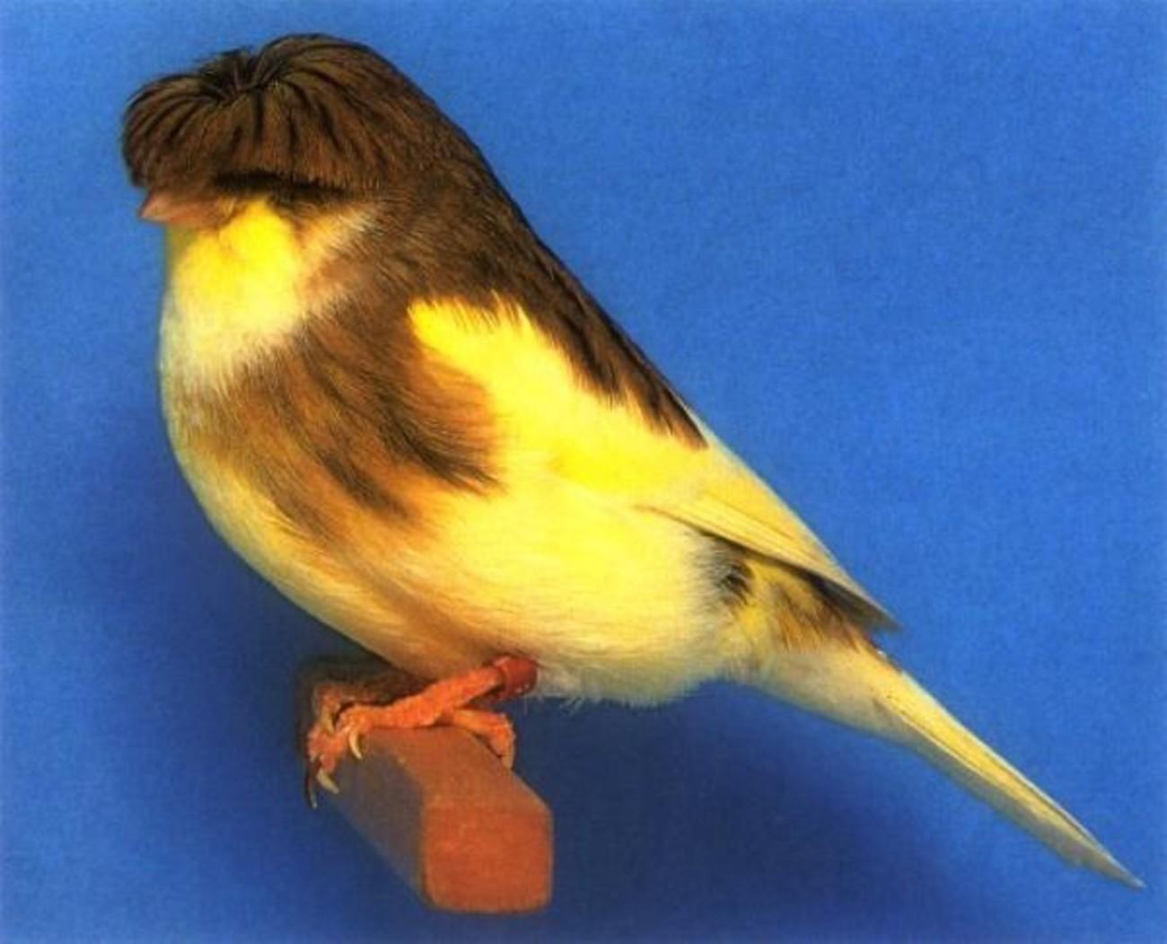 بالصور انواع الكناري , اجمل انواع طيور الزينه 2074 3