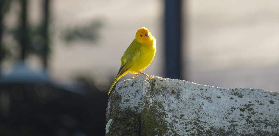 بالصور انواع الكناري , اجمل انواع طيور الزينه 2074 4
