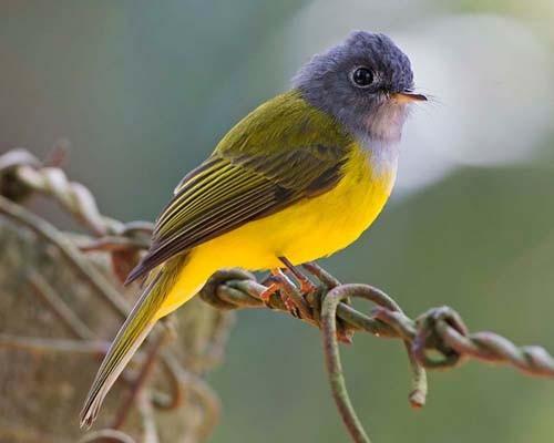 بالصور انواع الكناري , اجمل انواع طيور الزينه 2074 5