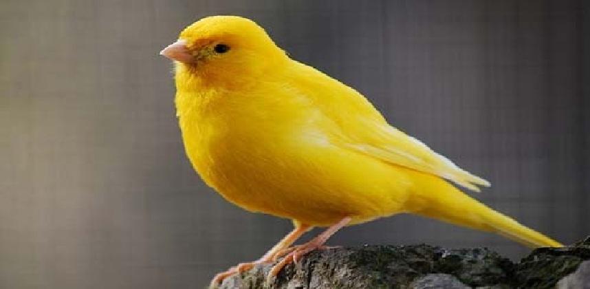 بالصور انواع الكناري , اجمل انواع طيور الزينه 2074 6
