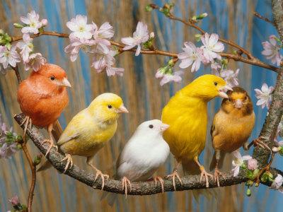 بالصور انواع الكناري , اجمل انواع طيور الزينه 2074 8
