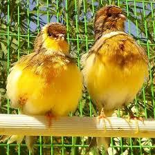بالصور انواع الكناري , اجمل انواع طيور الزينه 2074 9