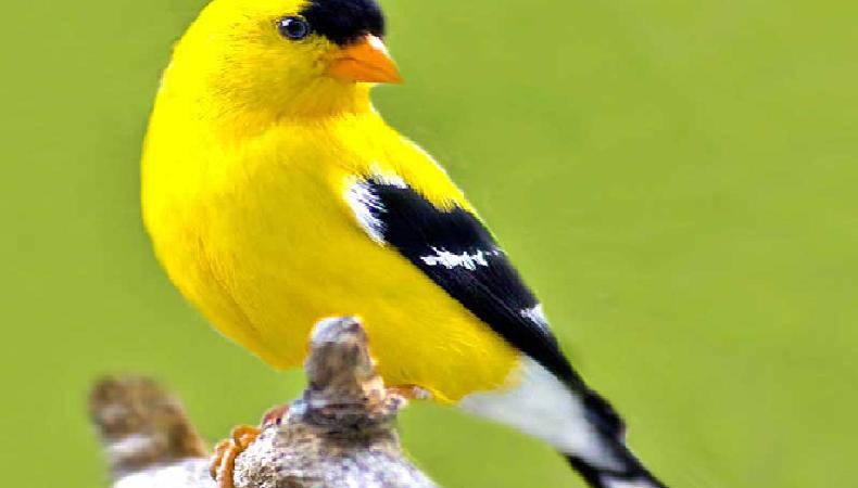 بالصور انواع الكناري , اجمل انواع طيور الزينه 2074