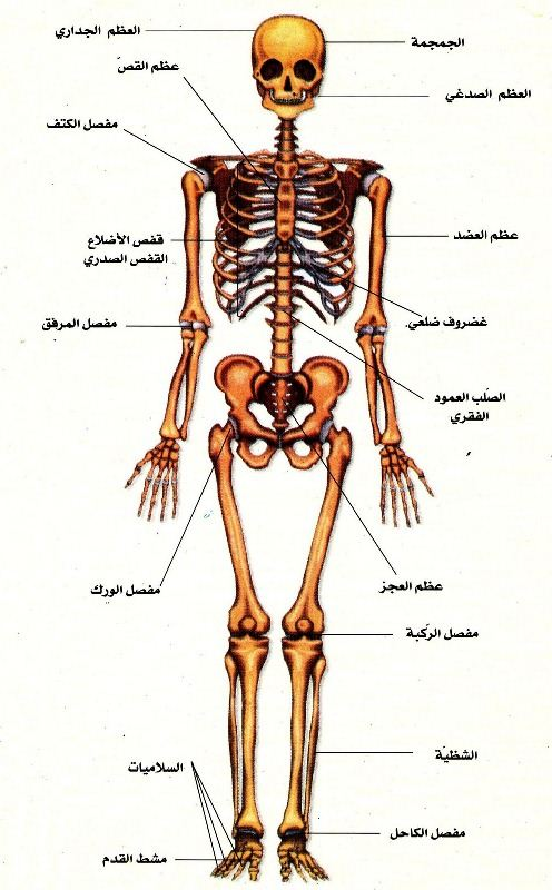 صورة جسم الانسان بالصور , اجمل الصور التوضيحية لجسم الانسان
