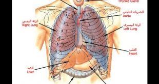 بالصور جسم الانسان بالصور , اجمل الصور التوضيحية لجسم الانسان 2238 11 310x165