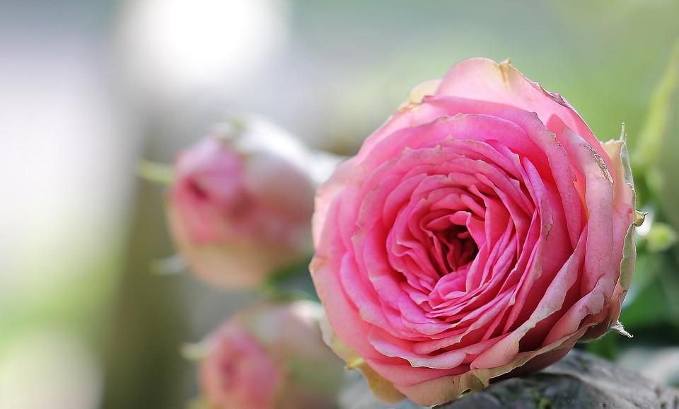 بالصور اجمل صور ورد , خلفيات لاحلى ازهار طبيعيه بالعالم 2833 6