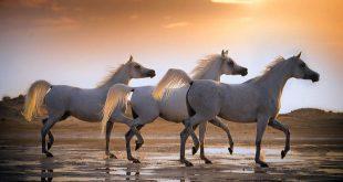 صورة خيل عربي اصيل , صور حصان من السلاله العربيه