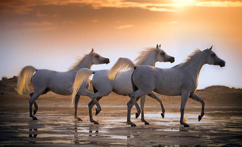احسن خيول عربيه