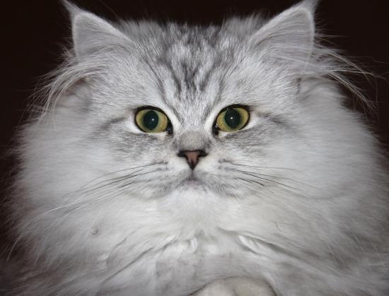 بالصور قطط شيرازى , صور احلى انواع الحيوانات المنزليه 3027 1