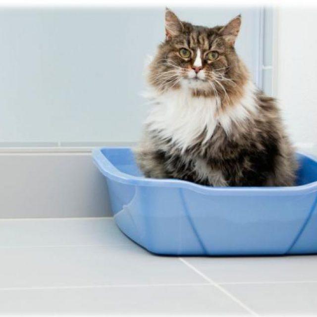 بالصور قطط شيرازى , صور احلى انواع الحيوانات المنزليه 3027 10