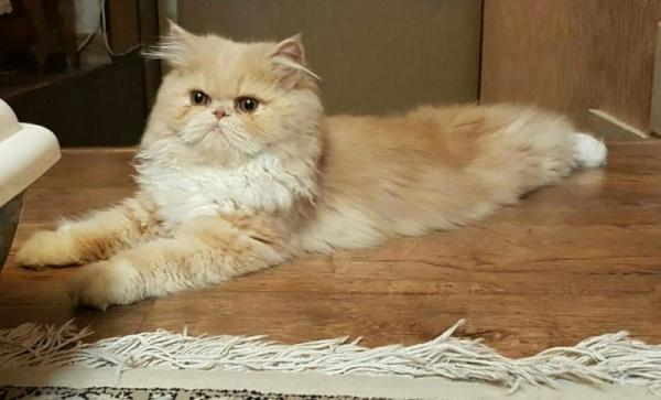 بالصور قطط شيرازى , صور احلى انواع الحيوانات المنزليه 3027 11