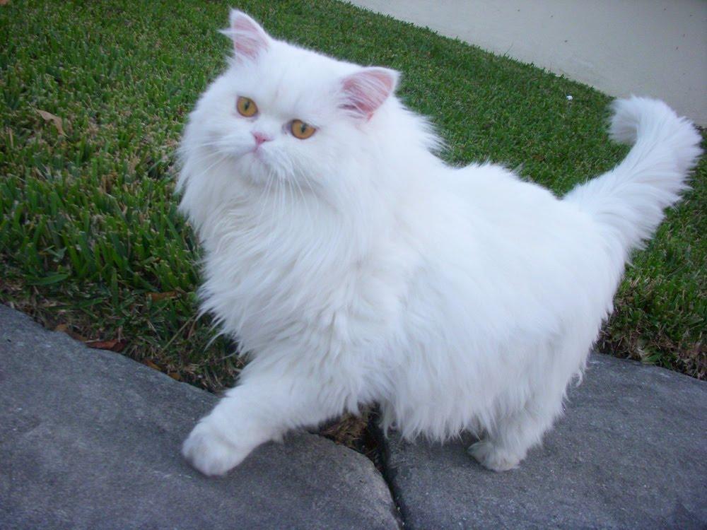 بالصور قطط شيرازى , صور احلى انواع الحيوانات المنزليه 3027 3
