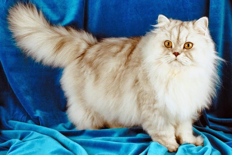 بالصور قطط شيرازى , صور احلى انواع الحيوانات المنزليه 3027 4