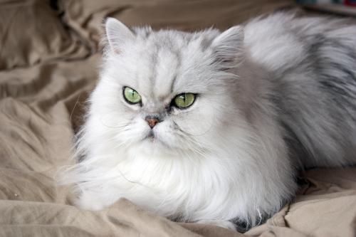 بالصور قطط شيرازى , صور احلى انواع الحيوانات المنزليه 3027 5