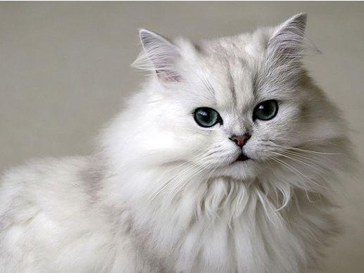 بالصور قطط شيرازى , صور احلى انواع الحيوانات المنزليه 3027 6