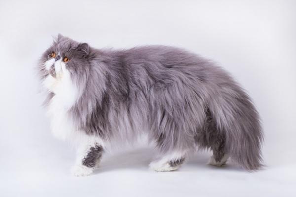 بالصور قطط شيرازى , صور احلى انواع الحيوانات المنزليه 3027 7