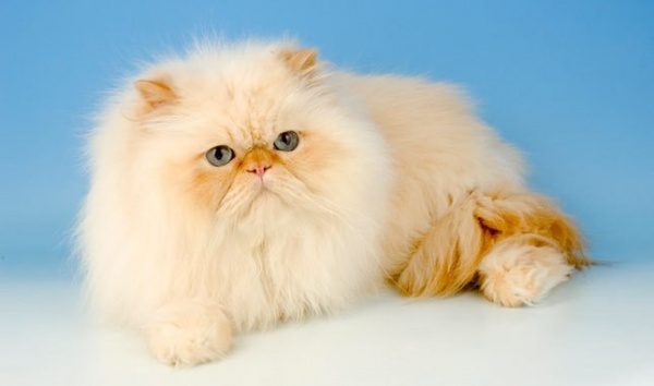 بالصور قطط شيرازى , صور احلى انواع الحيوانات المنزليه 3027 8