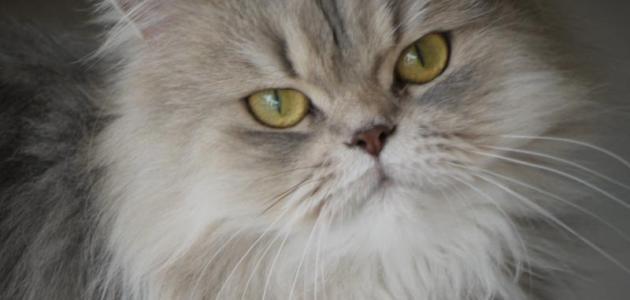 بالصور قطط شيرازى , صور احلى انواع الحيوانات المنزليه 3027