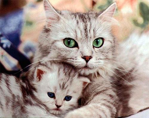 بالصور اجمل صور قطط , خلفيات هره كيووووووت 3086 2