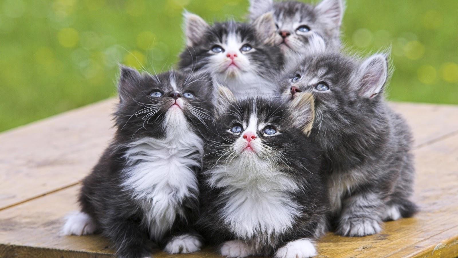 صوره اجمل صور قطط , خلفيات هره كيووووووت