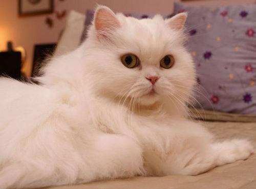 بالصور صور قطط شيرازي , اشكال لقط الشيراز الكيوووت 3127 1