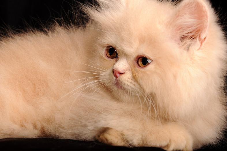 بالصور صور قطط شيرازي , اشكال لقط الشيراز الكيوووت 3127 10