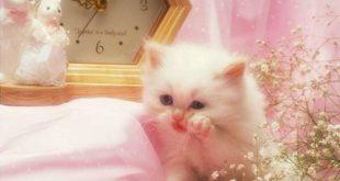 بالصور صور قطط شيرازي , اشكال لقط الشيراز الكيوووت 3127 11 310x165