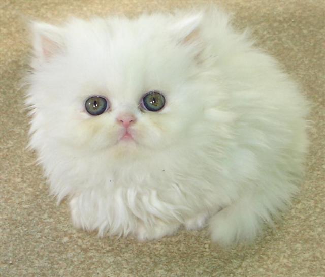 بالصور صور قطط شيرازي , اشكال لقط الشيراز الكيوووت 3127 3