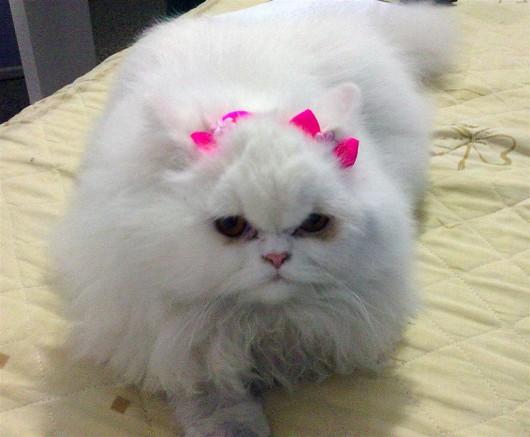 بالصور صور قطط شيرازي , اشكال لقط الشيراز الكيوووت 3127 4