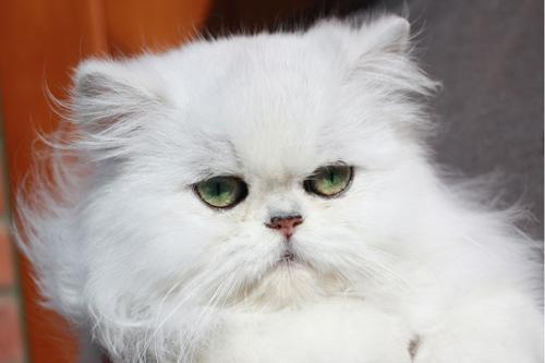 بالصور صور قطط شيرازي , اشكال لقط الشيراز الكيوووت 3127 5